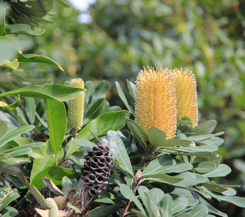 """I nuovi """"coni"""" della Banksia di norma.luna"""