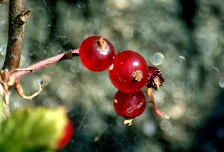 Photo: Красная смородина Б. Седловатый