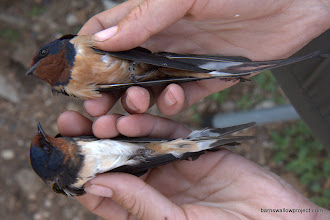 Photo: Georgy's Photo: A light, gutturalis-looking bird at bottom; a dark, tytleri-looking bird at top; both caught at one legendary barn 150km east of Chita