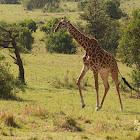 Masai giraffe, Kilimanjaro giraffe
