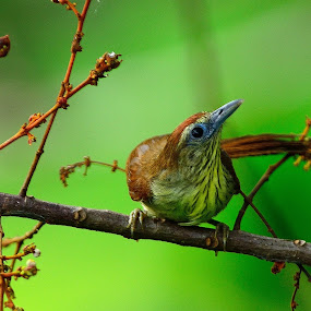 Pin Striped Tit Babbler by Azmi Jailani - Animals Birds