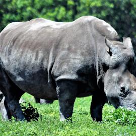 Rhino by Priscilla Renda McDaniel - Animals Other ( lion country safari, massive, theme park, horn, rhino, large, animal,  )