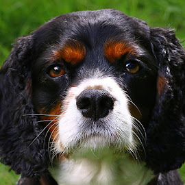 Jackie Boy by Chrissie Barrow - Animals - Dogs Portraits ( stare, white, portrait, eyes, curly, pet, whiskers, ears, fur, cavalier king charles spaniel, dog, nose, tan, black,  )