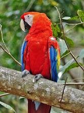 Photo: Hellroter Ara, auch Arakanga genannt (Ara macao, Scarlet Macaw)  Er ist einer der größten Papageien der Welt. Er kann eine Länge von bis zu 90 cm und ein Gewicht von bis zu 1 kg erreichen.