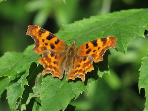 Photo: 15 Jul 13 Priorslee Lake: A pristine Comma butterfly: certainly from a new generation. (Ed Wilson)