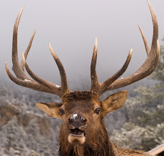 Photo: Large Bull Elk on a chilly fall morning.