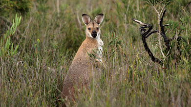 Photo: Red-necked Wallaby - Khapinghat
