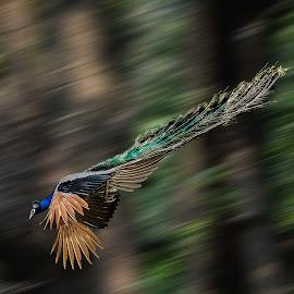 peacock in motion by Broz Ningombam - Animals Birds