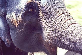 Photo: #007-Eléphant à Pinnawela