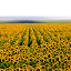 Yellow Fields.. by Edit Peterffy - Landscapes Prairies, Meadows & Fields ( field, many ..., nature, sunflower, yellow, , Hope )