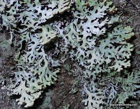 Photo: Hooded Bone Lichen