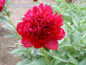 Photo: 紅信濃 黒味が強い深紅色丈は太く硬い