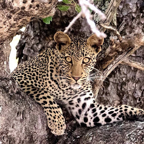 Lady Leopard by Sheila Grobbelaar - Animals Lions, Tigers & Big Cats ( cats, big cats, wildlife photography, safari, south africa, wildlife, big 5, africa, leopard,  )