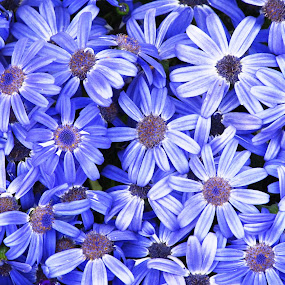 FLOWER  STARS by Tina Banik - Flowers Flower Gardens (  )