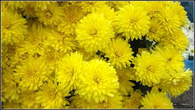 Photo: Crizanteme - din Turda,  Piata Centrala Agroalimentara - 2018.10.27