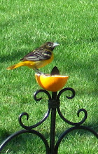 Photo: Oriole in summer