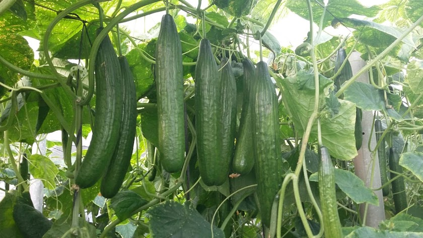 Cultivo de pepino en Carchuna.