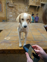 Photo: There are tons of street dogs everywhere we've been in India so far.  Most are a little skiddish, but quite friendly.  This guy came to see what Sarah's looking at on her phone.