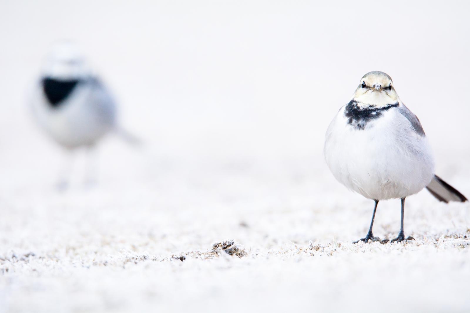 """Photo: """"ずっと一緒だよ"""" """"I'll always be with you""""  君のそばには僕がいて 僕のそばには君がいる それがとても自然なことで きっとこれからもいつまでも """"ずっと一緒だよ""""  White Wagtail. (ハクセキレイ)  #cooljapan #365cooljapanmay  #birdphotography #birds  #sigma #kawaii  #JPCOGallerySpring2015 #日本の写真文化を海外へ  Nikon D7100 SIGMA 150-600mm F5-6.3 DG OS HSM Sports [ Day284, February 20th ] (2枚追加:Added 2 photo)  ★グループ写真展開催中です。 『JPCO Gallery Spring 2015 / 日本の写真文化を海外へ』  ・在廊予定日 21(土) : 14:00~19:00 22(日) : 13:00~16:00 (最終日)  土日はトークイベントも開催され 明日21日は自分も少し 小鳥を通して伝えたいことについて 語らせていただく予定です。 今回は録画も行わない形になりますので、 興味のある方はぜひ聞きに来てください♪  写真展につきましては下記URLを参照してください。 < http://islandgallery.jp/10839 >  トークイベント『PET Talk 2015』 < http://islandgallery.jp/10932 >  小鳥の詩朗読 http://youtu.be/0QAodfgHKGk?list=PL2YtHGm0-R3qVsaqvQe9OYdJFCkI98wzF"""