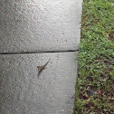 Brown Anole ( After The Storm )