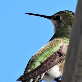 Resting Hummingbird by Carol Leynard - Animals Birds ( bird, hummingbird )