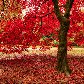 Autumn by Mike Woodford - Nature Up Close Trees & Bushes ( fall leaves on ground, fall leaves, red, tree, autumn, fall, leaf, leaves )