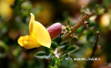 Photo: lotus cytisoides