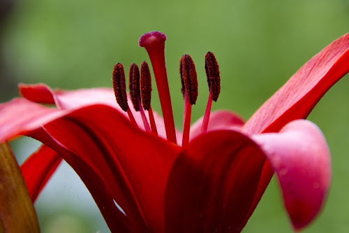 Lily by Kellee Wright - Flowers Single Flower ( red flower, lily, nature up close, flowers, lilly, flower,  )