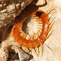 Giant Desert Centipede