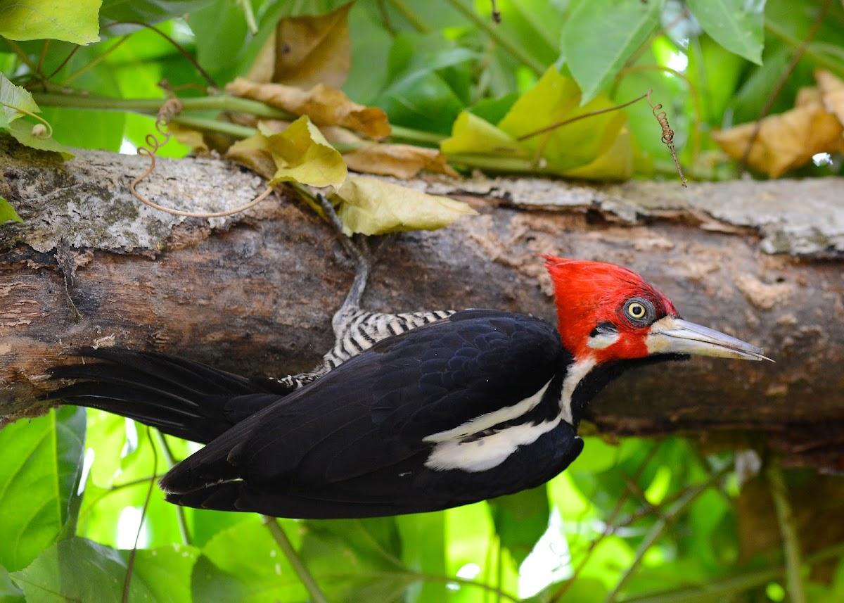 Crimson Crested Woodpecker