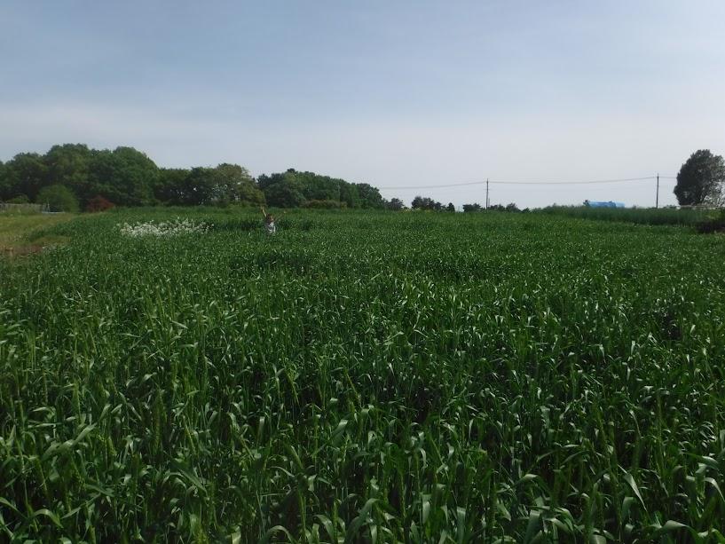 2反5畝の小麦畑、白い花は三浦大根の種採り、その隣に長男がいます