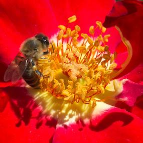 Red Rose by Janet Marsh - Flowers Single Flower ( rose, red, bee, filoli,  )
