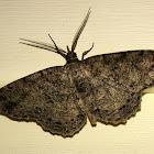 Canadian Melanolophia Moth