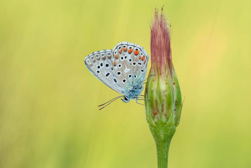 Farfalla su fiore di Peter_Sossi