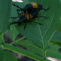 Elderberry Borer beetle