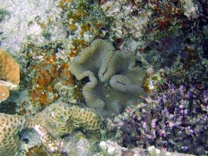 Photo: Stichodactyla haddoni (Haddons Carpet Anemone) typically found on sand, but in this case on reef rock, Naigani Island, Fiji