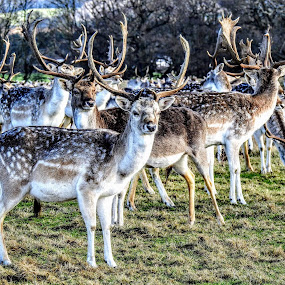 Fallow Deer  by Ian Popple - Uncategorized All Uncategorized ( fallow deer, antlers, forest, animal,  )