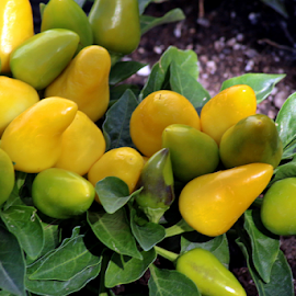 Yellow Peppers by Tony Huffaker - Food & Drink Fruits & Vegetables ( pepper, plant, garden, vegetable, summer )
