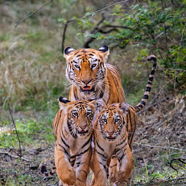 Tigress with Cubs by Nilesh Patel - Animals Lions, Tigers & Big Cats ( 3 tigress, tiger head on, tigress with cub, indina forest, tigers, wildlife,  )
