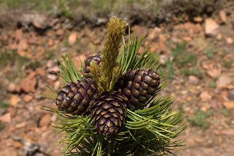 Photo: Whitebark pine cones