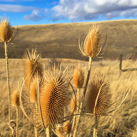by Liz Rosas - Nature Up Close Leaves & Grasses ( grasses, wheat, hills, thistels, mountains, thistle, oats, fields, country )