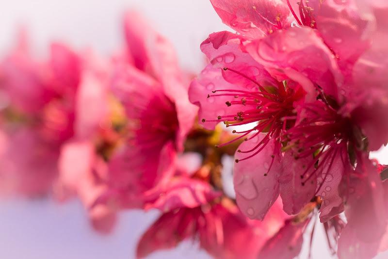 Fiori rosa, fiori di pesco di GIORGIO VOLPONI
