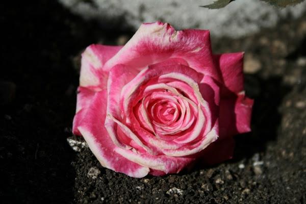 Una rosa per te di Mapalga