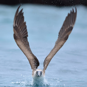 Take off by David Cozens - Animals Birds ( bird, blue footed booby, blue, devils crown, booby, footed, galapagos,  )