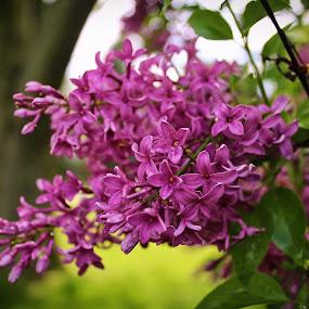 Lilacs in Bloom by Jennifer Smusz - Nature Up Close Trees & Bushes ( #purple, #puremichigan, #lilacs, #lilacbush, #beauty, #purpleblooms )