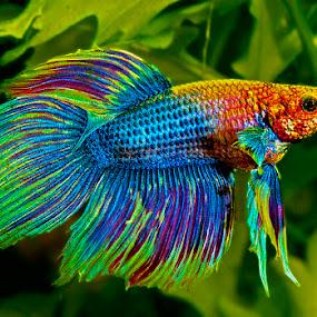 Blue betta by David Winchester - Animals Fish (  )