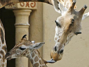 Photo: One-week old female reticulated giraffe calf, left, and her mother Carroll are seen in Rome's zoo, Wednesday, May 28, 2008. The giraffe calf, still without a name, is 1.70 meters tall (4.9 feet) and was born at the Rome zoo on May 21, 2008. (AP Photo/Alessandra Tarantino)
