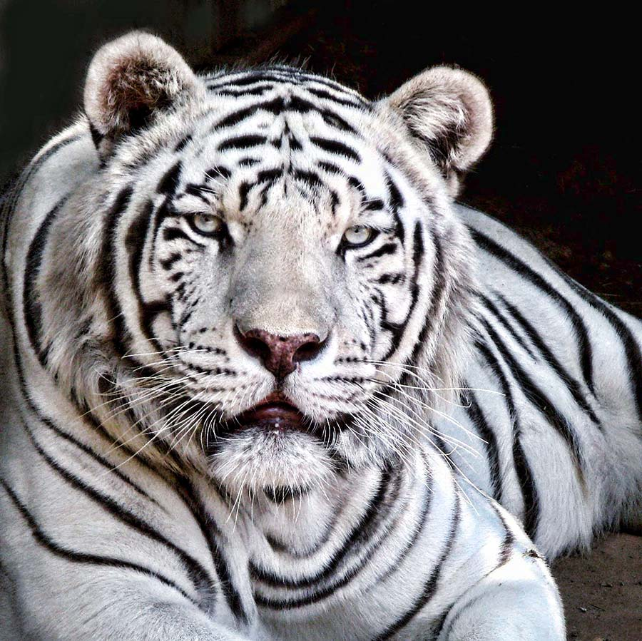 White Tiger II by Nancy Tubb - Animals Lions, Tigers & Big Cats ( big cats, white tiger, tiger, feline, white tiger head,  )