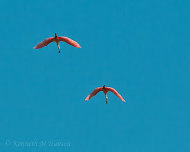 Photo: Roseate spoonbills flying high - Corkscrew Swamp Sanctuary