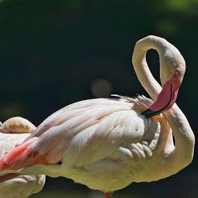 Flamingo's by Tristan Wright - Animals Birds ( outdoor photography, sunny, flamingo, birds, portrait,  )